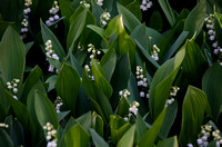 Lily of the Valley 2126