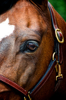 """Bay Horse"", Eye, Horse, ""Horse's Eye"", Horses, ""Leather Halter"", ""Quarter Horse"""